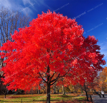 20PCS seeds American Acer palmatum red Maple Tree Seeds Bonsai Home & Garden True Japanese Red Maple Tree Seeds